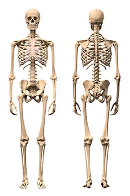 O esqueleto exerce funções importantes em nosso organismo
