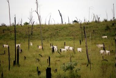Criação de Gado em uma área da Amazônia recentemente devastada