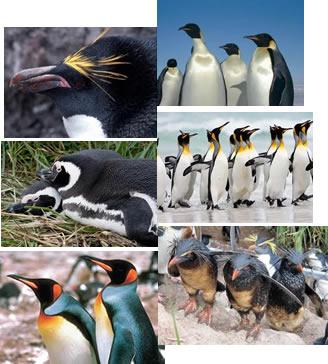 Dá-se o nome de pinguim às aves aquáticas, existentes no hemisfério sul, que não voam