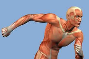 Os músculos ficam sobre o esqueleto e as articulações.