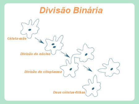 Observe a reprodução por divisão binária ocorrendo em uma ameba