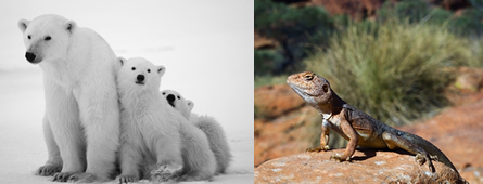 Os ursos são exemplos de animais endotérmicos e os lagartos são exemplos de animais ectotérmicos
