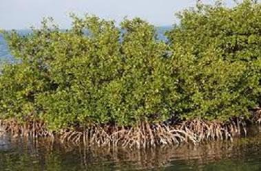 O manguezal é encontrado nas regiões litorâneas do nosso país
