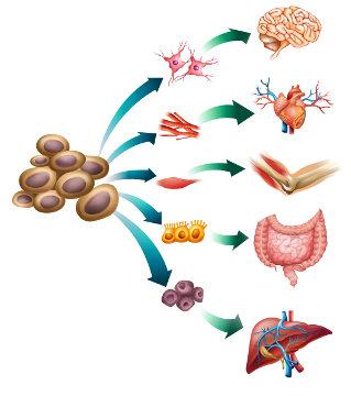 As células-tronco podem dar origem a diferentes tipos celulares
