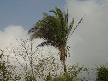 Babaçu, importante espécie vegetal da Mata dos Cocais