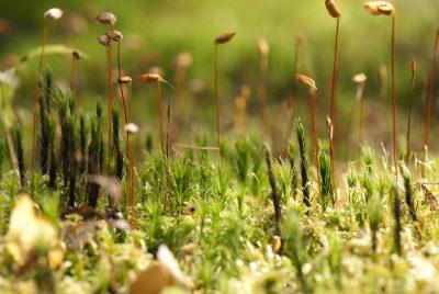Os musgos são plantas classificadas como briófitas e formam grandes tapetes verdes sobre rochas e outras superfícies