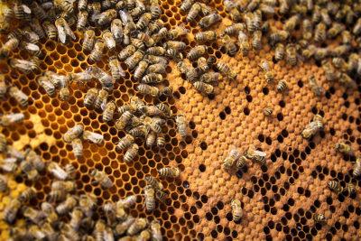 As abelhas são animais que vivem em sociedade