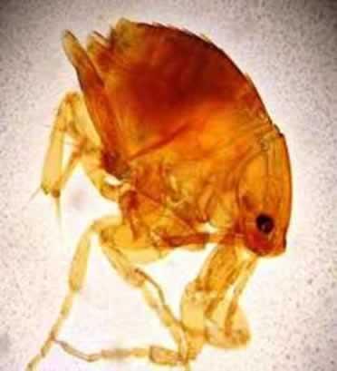 O nome científico do bicho-de-pé é Tunga penetrans