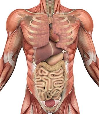 O tecido muscular é o responsável por todos os movimentos do nosso corpo