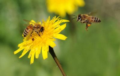 As abelhas são animais que vivem em sociedade, trabalhando de modo cooperativo