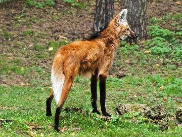Observe a pelagem laranja-avermelhada do lobo-guará e os detalhes de pelo negro nas patas e dorso