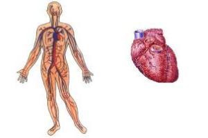 Principais componentes do sistema cardiovascular: coração e vasos sanguíneos.