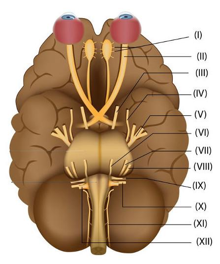 Os nervos cranianos são numerados no sentido craniocaudal