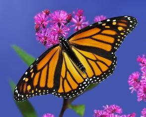 As cores fortes na asa indicam que essa borboleta possui defesas