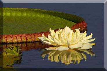 Flor da Vitória-régia