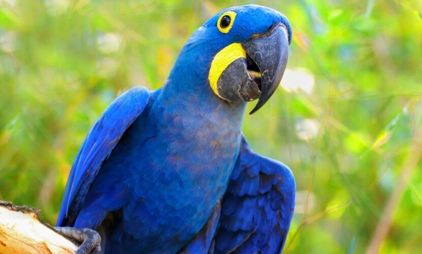 A arara-azul é uma ave da família dos psitacídeos.
