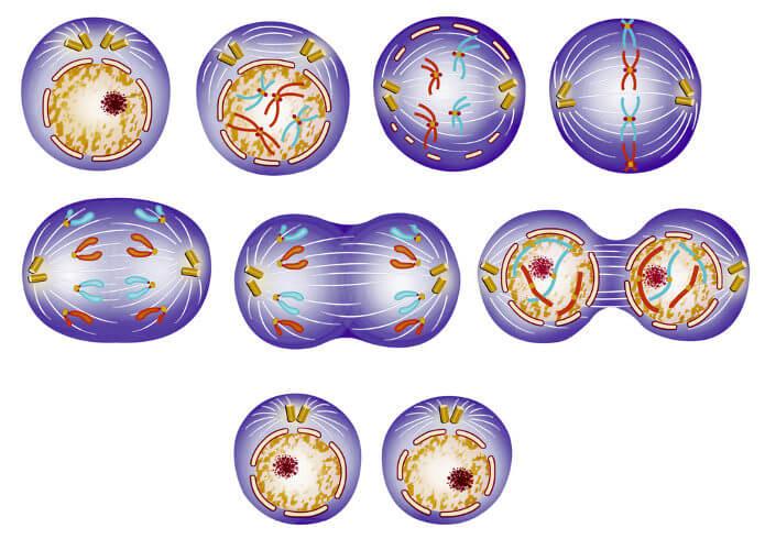 A divisão celular é o processo responsável pela formação de novas células.