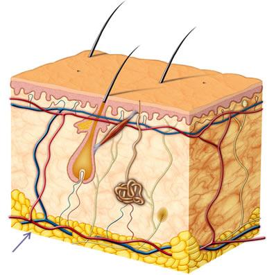 A seta na imagem indica a localização do tecido adiposo