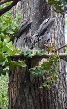 O urutau é um animal que se beneficia da camuflagem