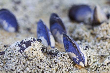 Os mexilhões são moluscos do grupo dos bivalves