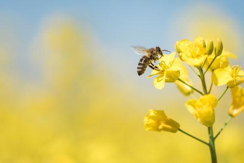As abelhas são o exemplo mais clássico de reprodução por partenogênese
