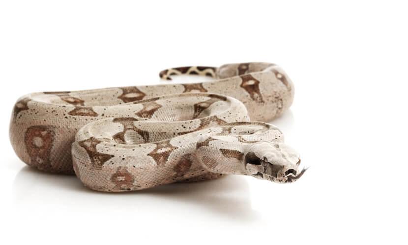As jiboias fazem parte da família das serpentes constritoras.