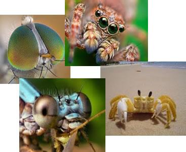 Os olhos dos invertebrados possuem desde estruturas simples até estruturas mais complexas
