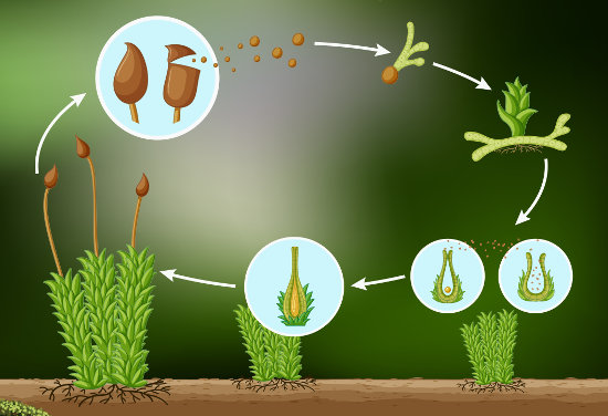 O ciclo de vida das briófitas apresenta alternância de gerações.