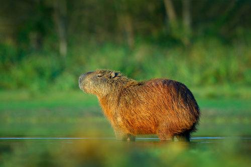 A capivara é um animal nativo da América do Sul e vive próximo a ambientes aquáticos