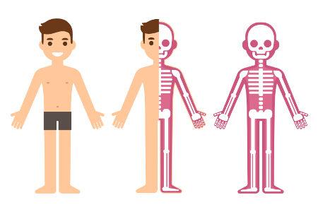 O esqueleto é extremamente importante para o funcionamento do organismo
