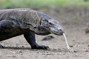 O Dragão-de-Komodo é o maior lagarto do mundo