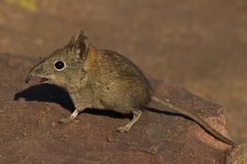 Os musaranhos são pequenos mamíferos com hábitos insetívoros