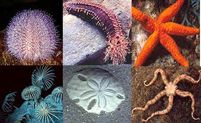 Os equinodermos são animais que possuem espinhos por toda a superfície do corpo