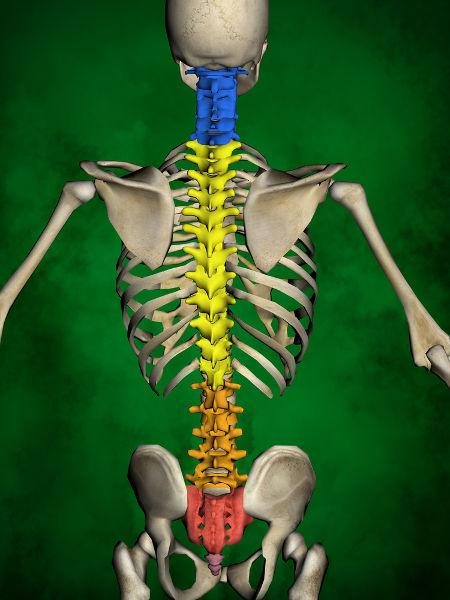 A coluna vertebral é um importante eixo de sustentação do corpo