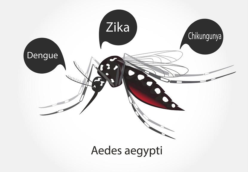 O AEDES AEGYPTI é responsável pela transmissão de várias doenças
