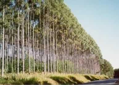 O papel é feito a partir da celulose do eucalipto