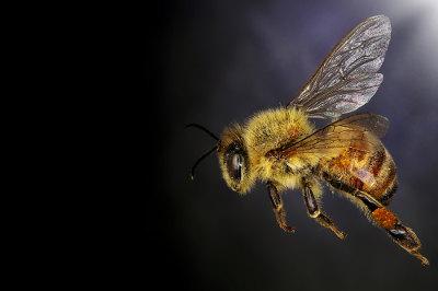 As abelhas são exemplos de insetos