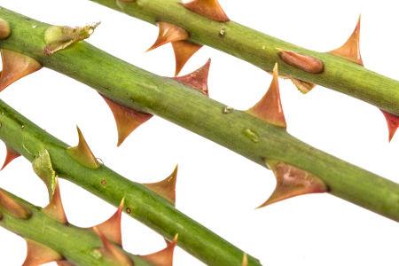 Na roseira, existem acúleos e não espinhos
