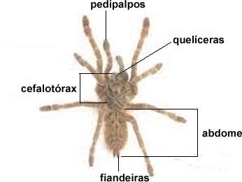 Morfologia externa de uma aranha