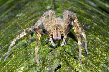 A aranha-armadeira é a maior aranha peçonhenta conhecida