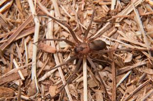 A picada da aranha-marrom pode causar pouca dor, fazendo com que o paciente demore mais para procurar ajuda