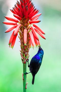 As aves polinizam flores com alto teor de néctar