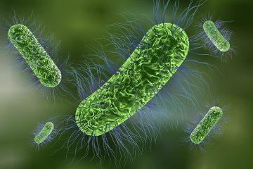 As bactérias reproduzem-se assexuadamente e não se enquadram no conceito de espécie