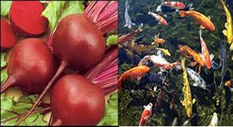 A geosmina também está presente na beterraba e em peixes.