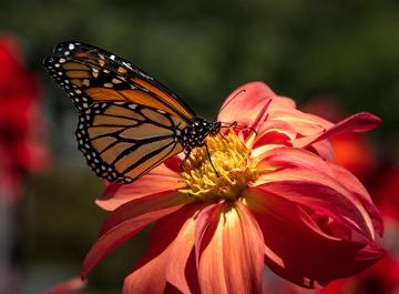 As borboletas polinizam flores vistosas