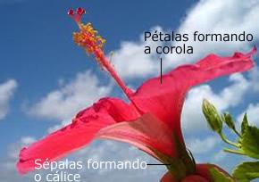 As sépalas formam o cálice; e as pétalas, a corola
