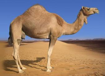Os camelos conseguem encontrar água graças ao cheiro que as bactérias exalam.