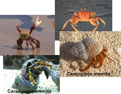 O caranguejo eremita se abriga em conchas abandonadas de moluscos