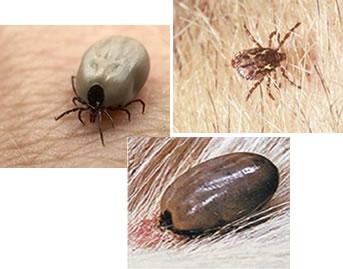 O carrapato perfura a pele do animal com suas quelíceras para sugar o sangue
