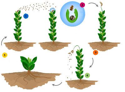 Observe o esquema do ciclo de vida da briófita